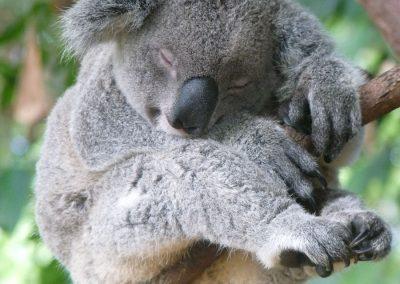 Byron_bay_koala